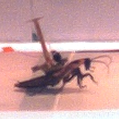 running cockroach with backpack